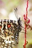 Mariposa española del adorno (rumina de Zerynthia) Fotografía de archivo