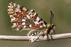 Mariposa española del adorno (rumina de Zerynthia) Foto de archivo