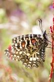 Mariposa española del adorno (rumina de Zerynthia) Imagen de archivo