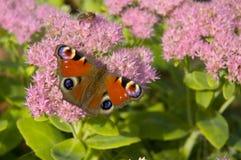 Mariposa europea del pavo real Fotos de archivo
