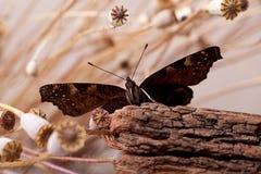 Mariposa europea del pavo real Fotografía de archivo libre de regalías