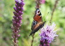 Mariposa europea del pavo real en la flor Fotos de archivo libres de regalías