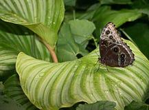 Mariposa exótica hermosa Imagen de archivo libre de regalías