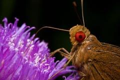 Mariposa eyed roja del capitán Foto de archivo