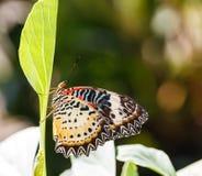 Mariposa femenina del lacewing del leopardo (euanthes del cyane de Cethosia) Imagen de archivo