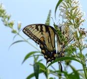Mariposa, flores blancas y cielo azul Imagen de archivo libre de regalías