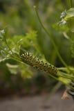 Mariposa futura de Swallowtail Imágenes de archivo libres de regalías