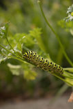 Mariposa futura de Swallowtail Fotografía de archivo