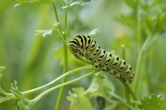 Mariposa futura de Swallowtail Imagen de archivo libre de regalías