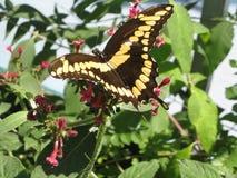 Mariposa gigante de Swallowtail Fotografía de archivo