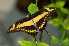 Mariposa gigante de Swallowtail (cresphonte de Papilio) Fotografía de archivo