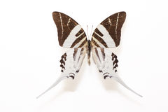 Mariposa gigante de Swordtail (adrocles de Graphium) Fotografía de archivo