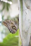 Mariposa gigante del búho Imagen de archivo