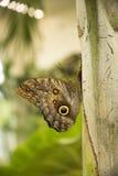Mariposa gigante del búho en la hoja Imagen de archivo