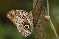 Mariposa gigante del buho Foto de archivo libre de regalías