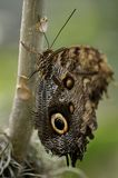 Mariposa gigante del buho Imagenes de archivo