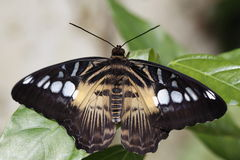 Mariposa gigante del swallowtail Fotografía de archivo libre de regalías
