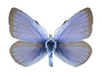 Mariposa Glaucopsyche Alexis (varón) fotografía de archivo libre de regalías