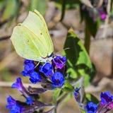 Mariposa Gonepteryx, el dacica Simonk de Pulmonaria de la planta fotos de archivo