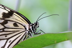 Mariposa grande de las ninfas del árbol en la hoja verde Imagenes de archivo