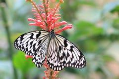 Mariposa grande de las ninfas del árbol y flor roja Fotos de archivo libres de regalías