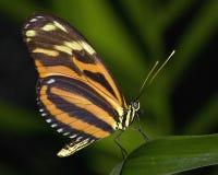 Mariposa grande del tigre Foto de archivo libre de regalías