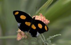 Mariposa Grecian del zapatero Foto de archivo