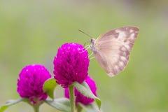 Mariposa gris de la flor rosada Foto de archivo libre de regalías