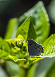 Mariposa gris de la Pelo-raya Foto de archivo libre de regalías