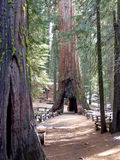 Mariposa grove. Giant sequoia in Mariposa grove Yosemite stock image