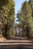 Mariposa Grove. Road surrounded by rows of trees Mariposa Grove Yosemite CA Stock Photography