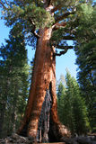 Mariposa Grove. Giant Sequoia in Mariposa Grove, Yosemite royalty free stock image