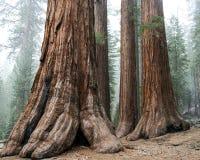 Mariposa Grove. The Giant Sequoias in Mariposa Grove royalty free stock photos