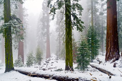 Mariposa Grove of giant sequoias, Yosemite national Park, California. Fog and snow cover the gaint sequoias of the Mariposa Grove in Yosemite royalty free stock photos