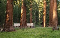 Mariposa Grove Redwoods Royalty Free Stock Photos