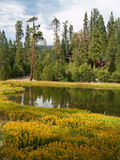 Mariposa Grove Redwoods Stock Image