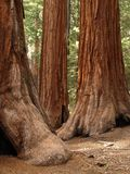 Mariposa Grove Redwoods Stock Photos
