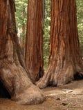 Mariposa Grove Redwoods. Yosemite National Park - Mariposa Grove Redwoods Stock Photos