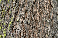 Mariposa Grove Texture. The Giant Sequoias in Mariposa Grove Royalty Free Stock Image