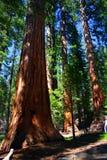 Mariposa Grove, Yosemite National Park royalty free stock photo