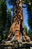 Mariposa Grove, Yosemite National Park. Mariposa Grove is a sequoia grove located near Wawona, California in the southernmost part of Yosemite National Park. It royalty free stock photo