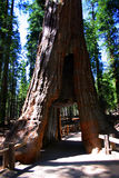 Mariposa Grove, Yosemite National Park. Mariposa Grove is a sequoia grove located near Wawona, California in the southernmost part of Yosemite National Park. It royalty free stock images