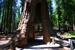 Mariposa Grove, Yosemite National Park. Mariposa Grove is a sequoia grove located near Wawona, California in the southernmost part of Yosemite National Park. It stock photo
