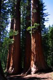 Mariposa Grove, Yosemite National Park. Mariposa Grove is a sequoia grove located near Wawona, California in the southernmost part of Yosemite National Park. It stock photos