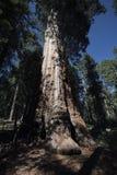 Mariposa Grove, Yosemite National Park Royalty Free Stock Images