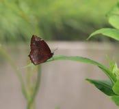Mariposa, hainana del hypermnestra de Elymnias en la hoja verde Fotografía de archivo