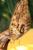 Mariposa hambrienta Imagenes de archivo