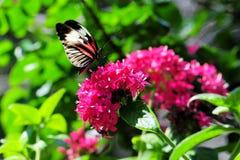 Mariposa, Heliconian, llave del piano Foto de archivo