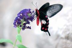 Mariposa (hembra mormona del escarlata) Fotos de archivo libres de regalías