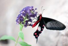 Mariposa (hembra mormona del escarlata) Imagen de archivo libre de regalías
